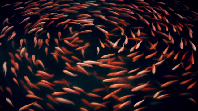 koi fish or fancy carp pattern swimming in the pond seamless loop - pond stock videos & royalty-free footage