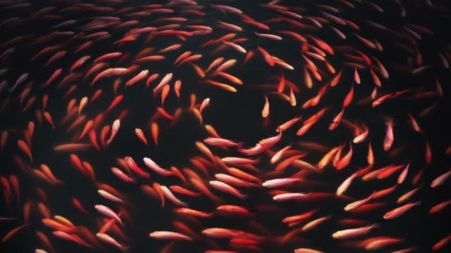 koi fish or fancy carp pattern swimming in the pond - koi carp stock videos & royalty-free footage