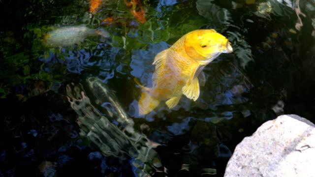 4k koi fish - stock video - koi carp stock videos & royalty-free footage