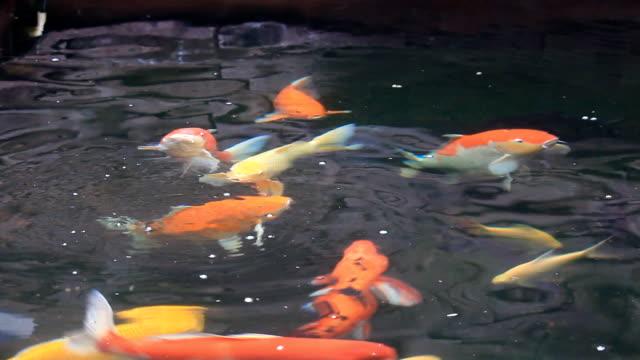 鯉の泳ぐ魚とのお食事には、池 - 文化点の映像素材/bロール