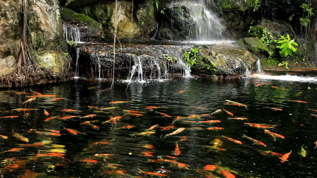 Koi fish swim in the water pond and waterfall