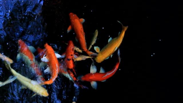 鯉の池でひと泳ぎ。 - 文化点の映像素材/bロール