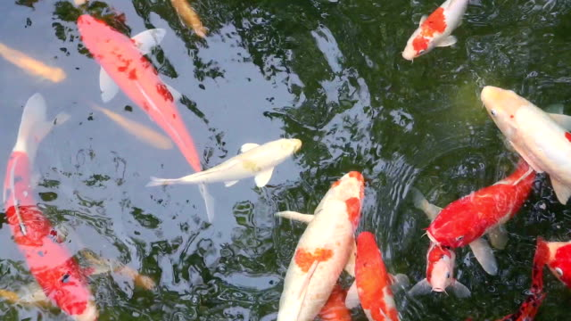 Koi fish swim in the water pond