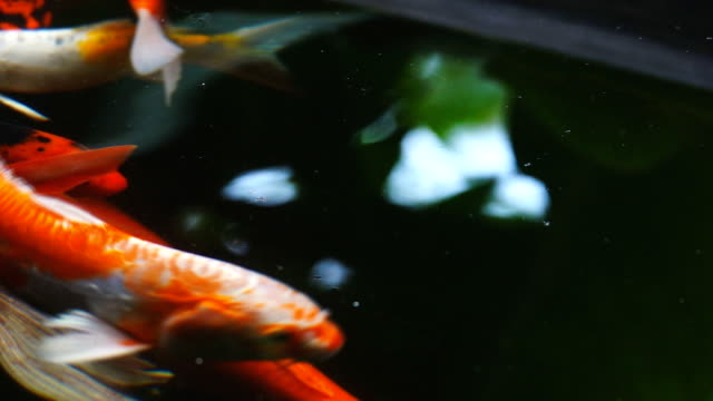 Koi fish swimming at pond, Slow motion.