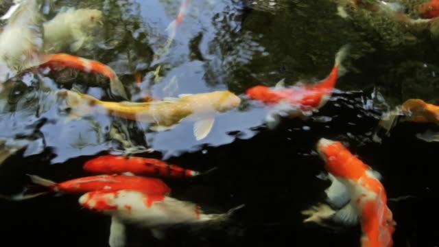 CU - Koi fish swimming in pond