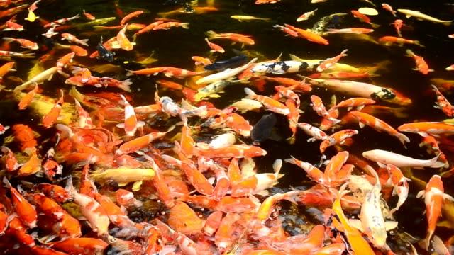 vídeos de stock e filmes b-roll de koi peixes a nadar na piscina, fancy carpa, cyprinus carpio - organismo aquático