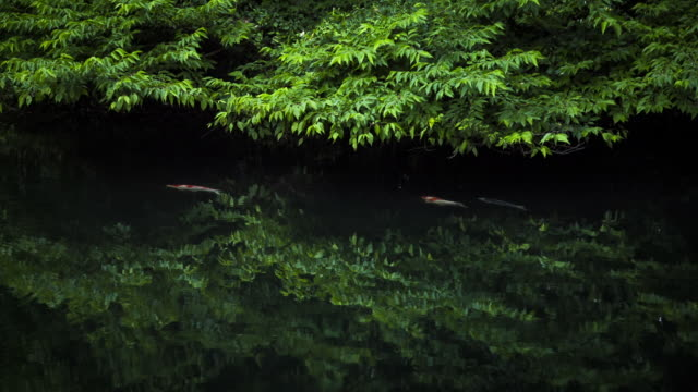 Koi Fish Swimming in the Water with Dense Foliage Surrounded