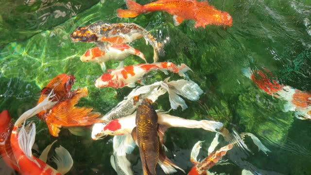 koi fish swimming on pond. - zoology stock videos & royalty-free footage