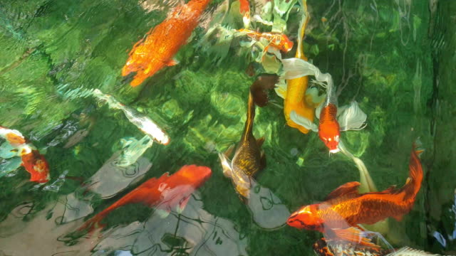 koi-karpfen im teich schwimmen. - weitere themen stock-videos und b-roll-filmmaterial
