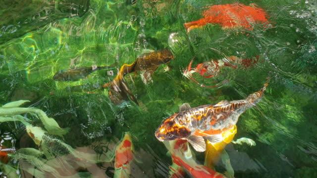 vidéos et rushes de koi poissons qui nagent sur l'étang. - autre thème
