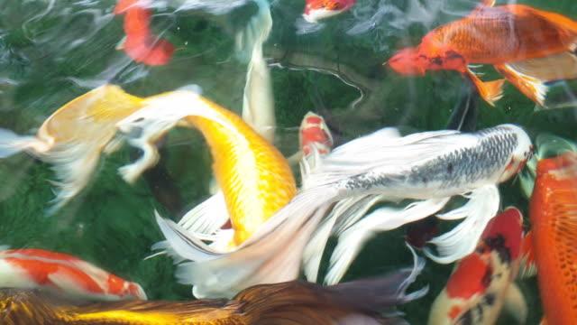 vídeos y material grabado en eventos de stock de peces koi nadando en la charca. - otros temas