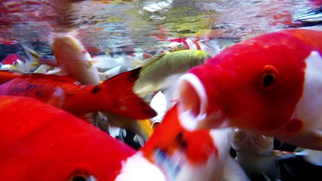 Koi fish Underwater.