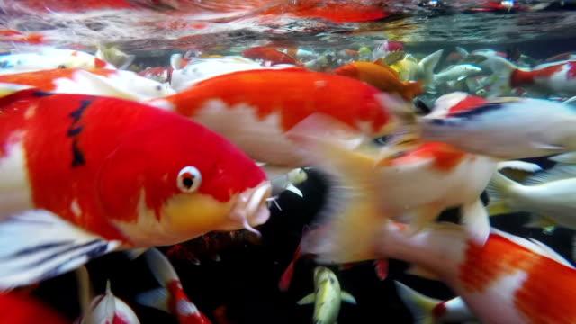 koi fish underwater. - koi carp stock videos & royalty-free footage