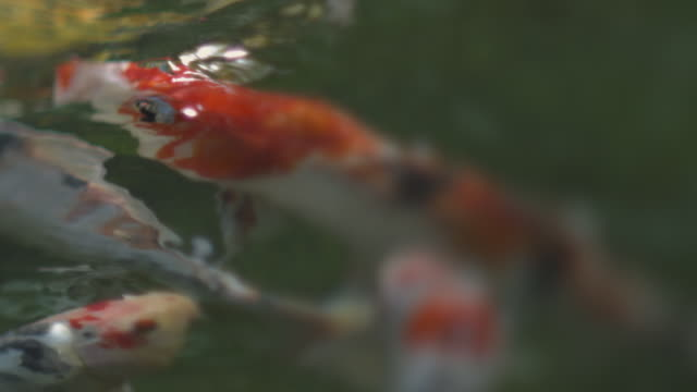 koi fish - トラッキングショット点の映像素材/bロール