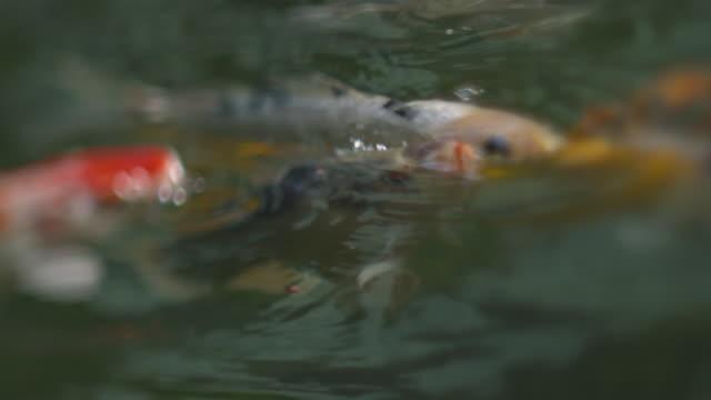 koi fish - aufblenden stock-videos und b-roll-filmmaterial