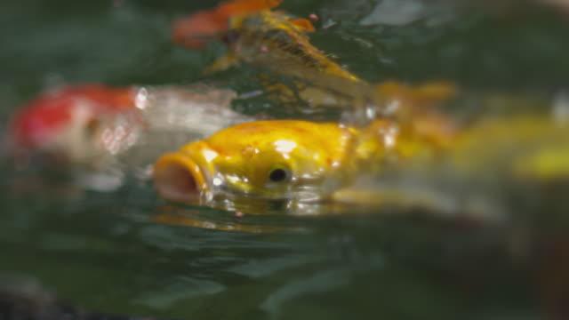 koi fish - koi carp stock videos & royalty-free footage
