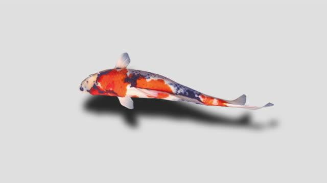 鯉魚(ループ可能)白い背景アニメーション - 水平アングル点の映像素材/bロール