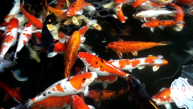 Koi fishes in slow motion.