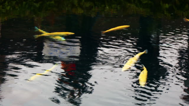 koi fishes or cyprinus - freshwater stock videos & royalty-free footage