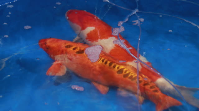 koi fiskar eller cyprinus - djurbeteende bildbanksvideor och videomaterial från bakom kulisserna