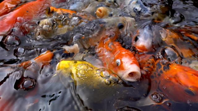 SLO MO Koi or fancy carp fish