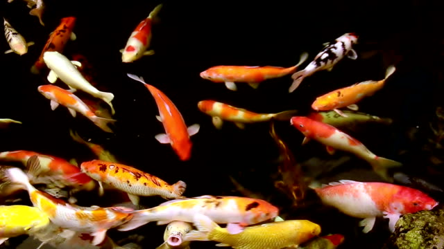koi pond - koi carp stock videos & royalty-free footage