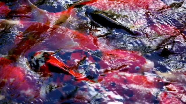koi - aquatic organism stock videos & royalty-free footage