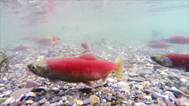 kokanee salmon (slow motion) - salmon stock videos & royalty-free footage