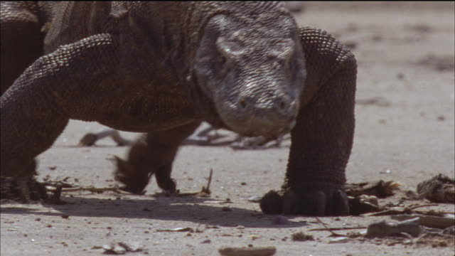 a komodo dragaon walks across a beach revealing its tongue. - reptile stock videos & royalty-free footage