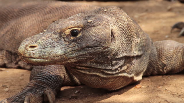 komodo dragon 1 - komodo island stock videos & royalty-free footage