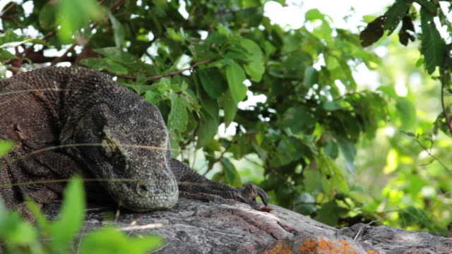 komodo dragon 10 - komodo island stock videos & royalty-free footage
