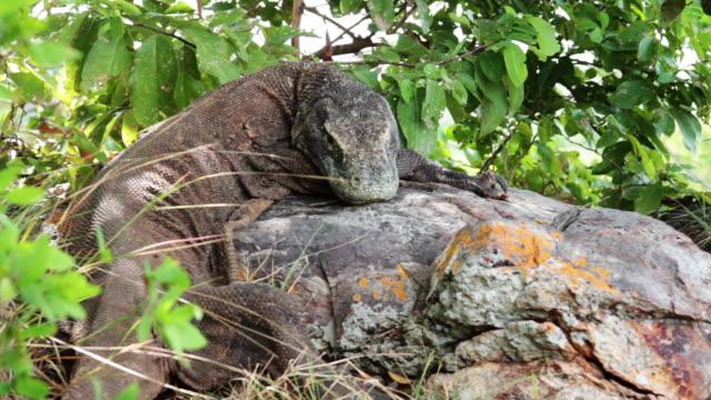 komodo dragon 8 - komodo island stock videos & royalty-free footage