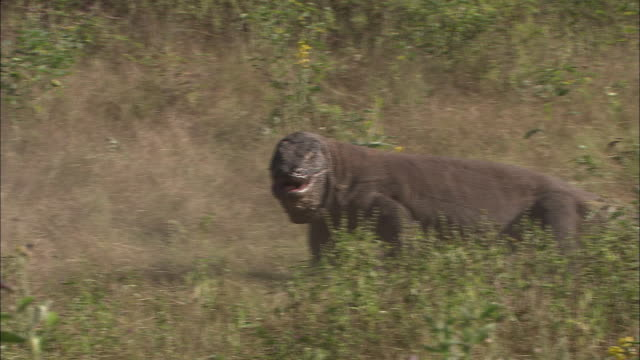 vidéos et rushes de a komodo dragon aggressively charges another dragon chasing it through the grass. - se battre