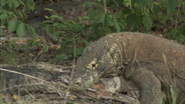 komodo dragon catches prey and feeds under tree. - insel komodo stock-videos und b-roll-filmmaterial