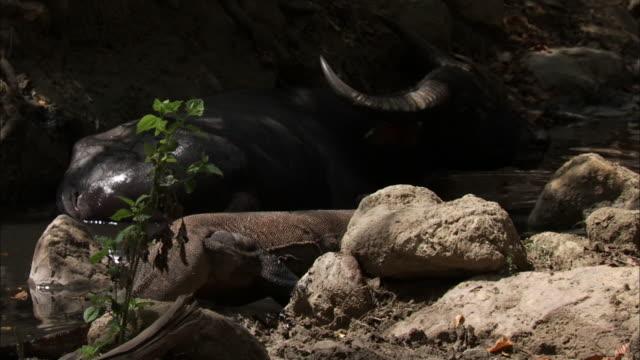 komodo dragon enters pool next to buffalo. - water buffalo stock videos & royalty-free footage