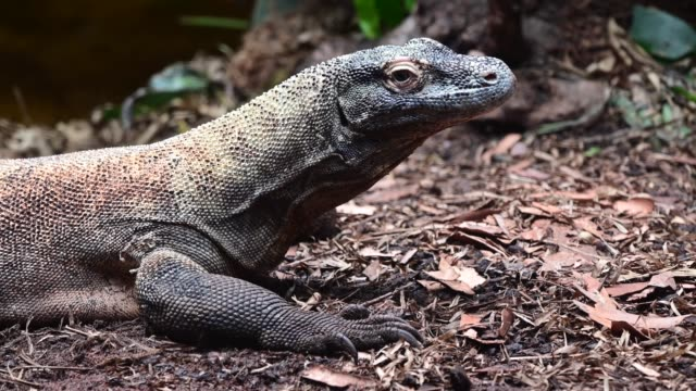 komodo dragon from komodo island indonesia - bedrohte tierart stock-videos und b-roll-filmmaterial