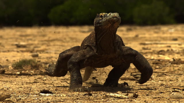 komodo dragon in indonesia - insel komodo stock-videos und b-roll-filmmaterial