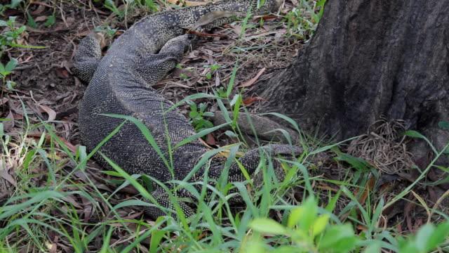 komodo dragon in the grass under the tree - dragon tree stock videos & royalty-free footage