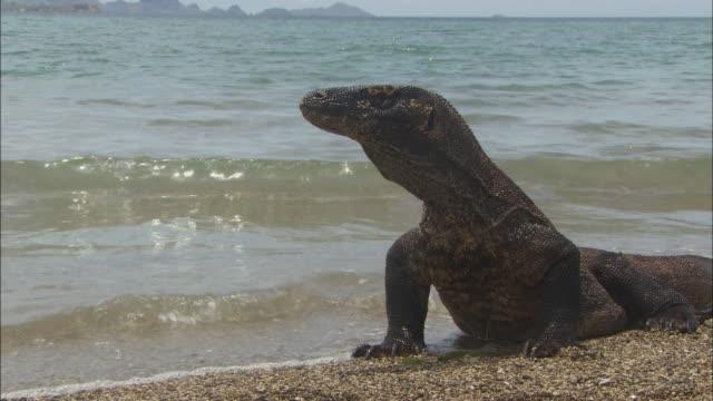vídeos de stock, filmes e b-roll de a komodo dragon looking around on the beach in indonesia - saliva de animal