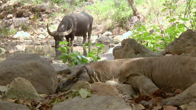 ms komodo dragon lying next to river and asian water buffalo drinking water / rinca island,  indonesia - water buffalo stock videos & royalty-free footage