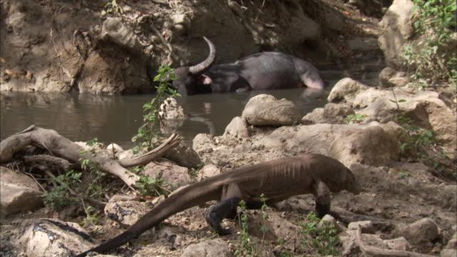 komodo dragon near buffalo in pool. - water buffalo stock videos & royalty-free footage
