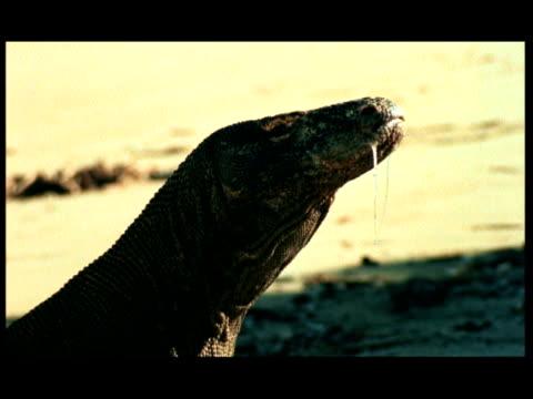vídeos de stock, filmes e b-roll de cu, komodo dragon on beach, headshot, komodo national park, komodo island, east nusa tenggara, indonesia - saliva de animal