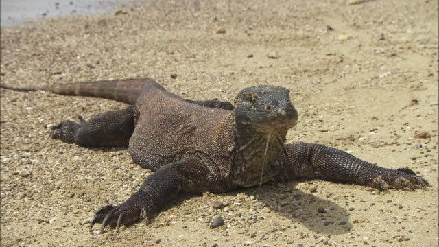 a komodo dragon resting on the beach in indonesia - lizard stock videos and b-roll footage