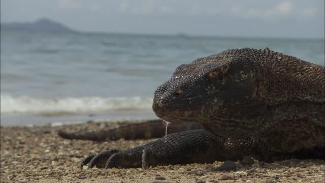 vídeos de stock, filmes e b-roll de a komodo dragon resting on the beach in indonesia - saliva de animal