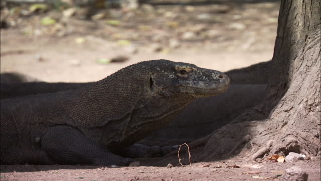 vidéos et rushes de komodo dragon rests in shade at base of tree. - être à l'ombre