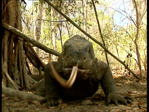 CU Komodo dragon sliding forked tongue into and out of mouth