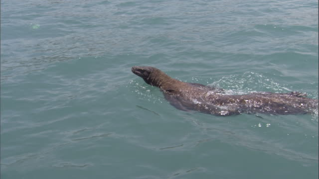 a komodo dragon swims. available in hd. - swimming stock videos & royalty-free footage