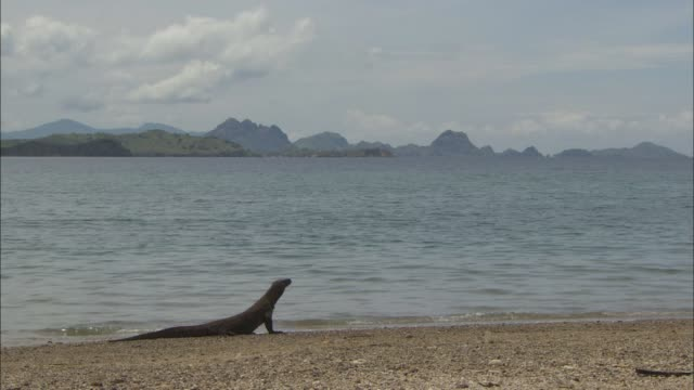 a komodo dragon that looks at the sea from the beach in indonesia - lizard stock videos and b-roll footage