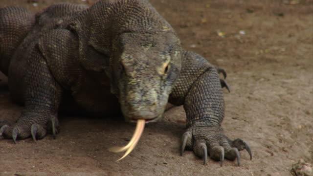 komodo dragon - komodo island stock videos & royalty-free footage