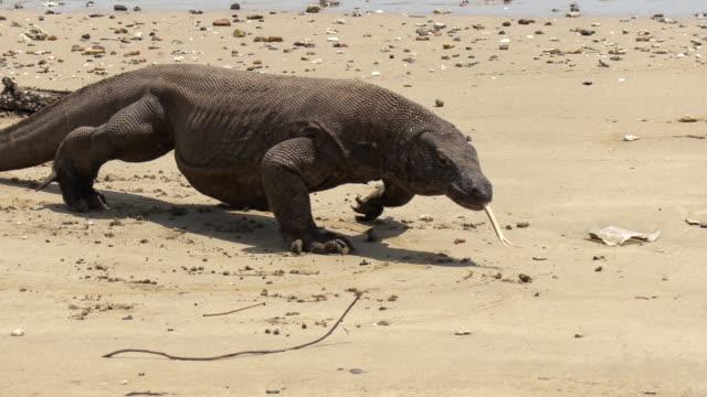 ms komodo dragon (varanus komodoensis) walking on beach, komodo island, east nusa tenggara, indonesia - komodo island stock videos & royalty-free footage